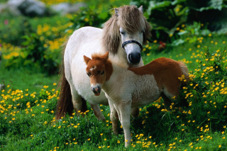 Pony Family