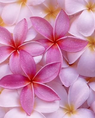 Thai Flowers - Frangipani, Plumeria para Samsung S5233T