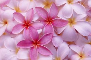 Thai Flowers - Frangipani, Plumeria para Blackberry RIM Curve 9360