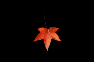 Red Autumn Leaf