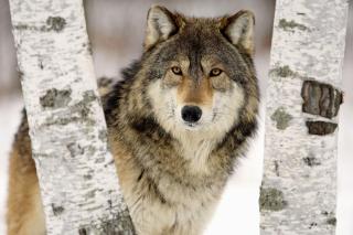 Wolf in Midwestern United States para Motorola RAZR XT910