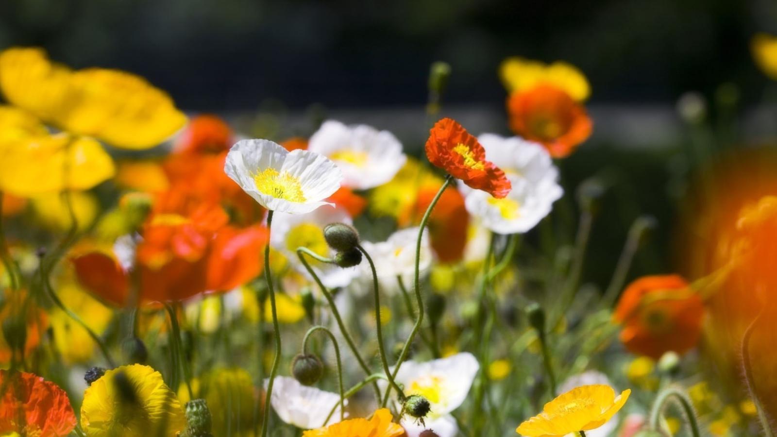 White Poppies Flowers
