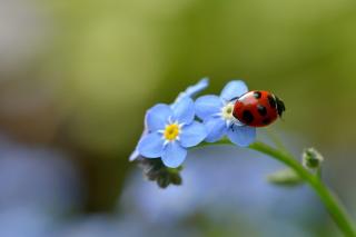 Ladybug On Blue Flowers para Samsung S5367 Galaxy Y TV