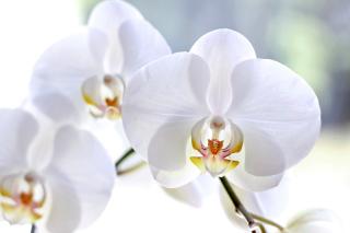 White Orchid para Samsung S5367 Galaxy Y TV