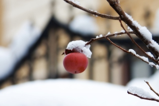Apple And First Snow