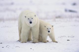 Polar Bears in Canada for Nokia Asha 200
