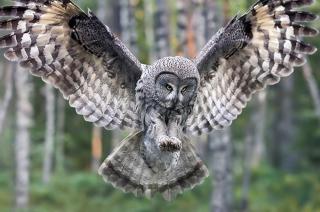 Owl Forest Birds