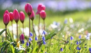 Wild Pink Tulips