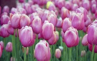 Pink Blossom Tulips