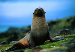 The Antarctic Fur Seal