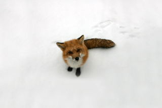 Lonely Fox On Snow