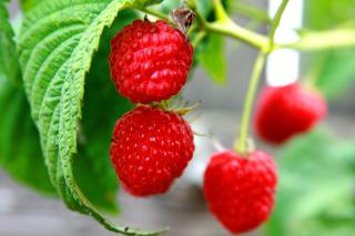 Raspberries Macro Photo