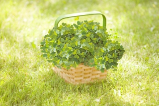Clover Basket