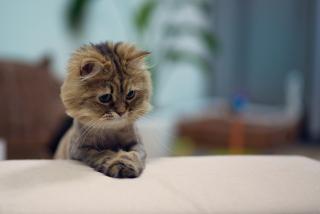 Shaved Kitten