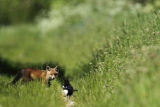 Little Fox Hunting