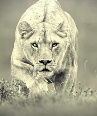 Lion Hunting para Huawei G7300
