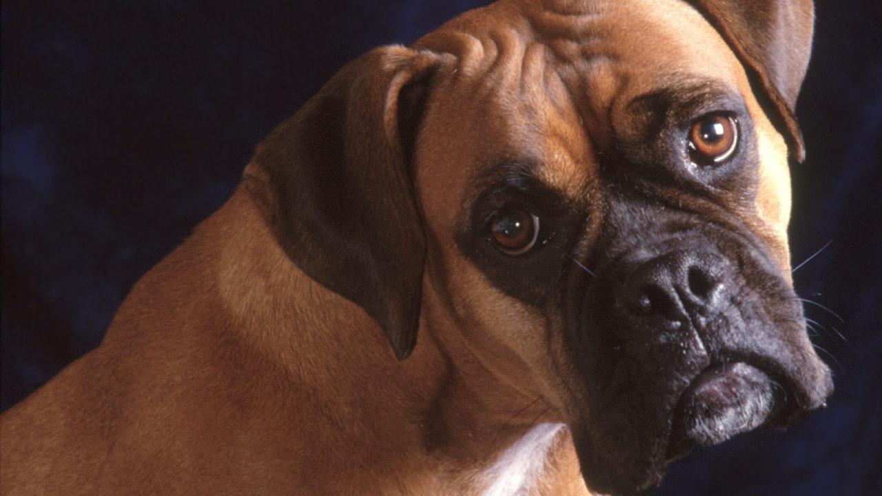 Bullmastiff Dog screenshot #1
