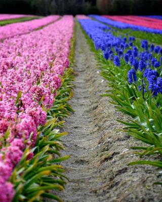 Hyacinths Field for Nokia Asha 303