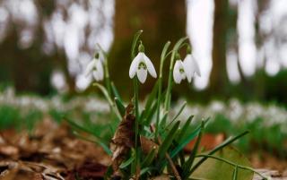 Snowdrops In Queens Park Scotland