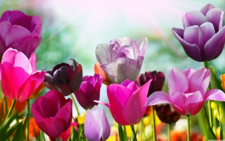 Colorful Tulips para Sony Ericsson XPERIA PLAY
