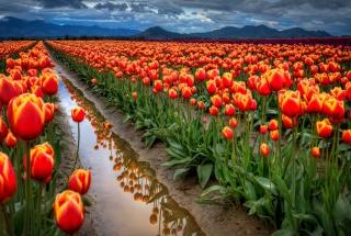 Orange Tulips Field para Nokia X2-01