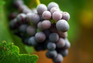 Purple Grapes Macro