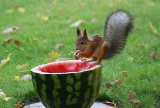 Squirrel Likes Watermelon