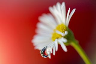 Tear Of Daisy