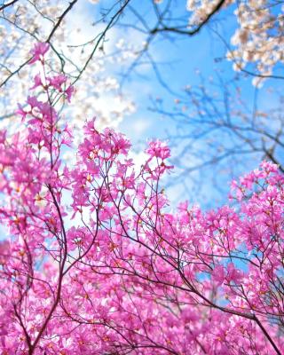 Spring Sakura Garden in Kyoto para Nokia 5230