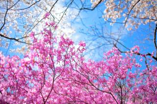 Spring Sakura Garden in Kyoto para Motorola RAZR XT910