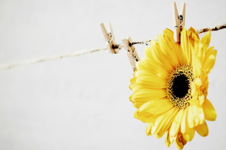 Golden-Daisy With Pin