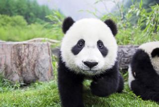 Panda Baby para Nokia Asha 201