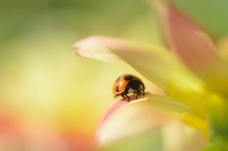 Orange Ladybug On Soft Green Leaves para Nokia X2-01