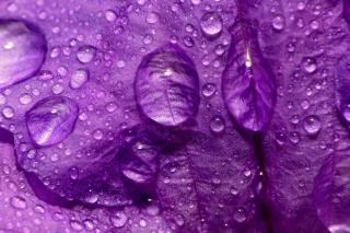 Dew Drops On Violet Petals