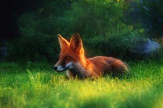 Bright Red Fox In Green Grass