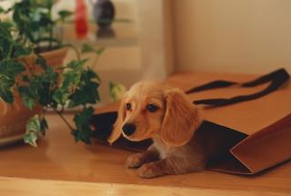 Puppy In Paper Bag
