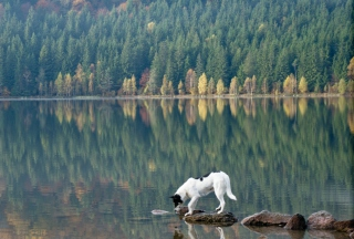 Dog Drinking Water From Lake