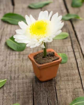 Chrysanthemum para Blackberry RIM Torch 9800