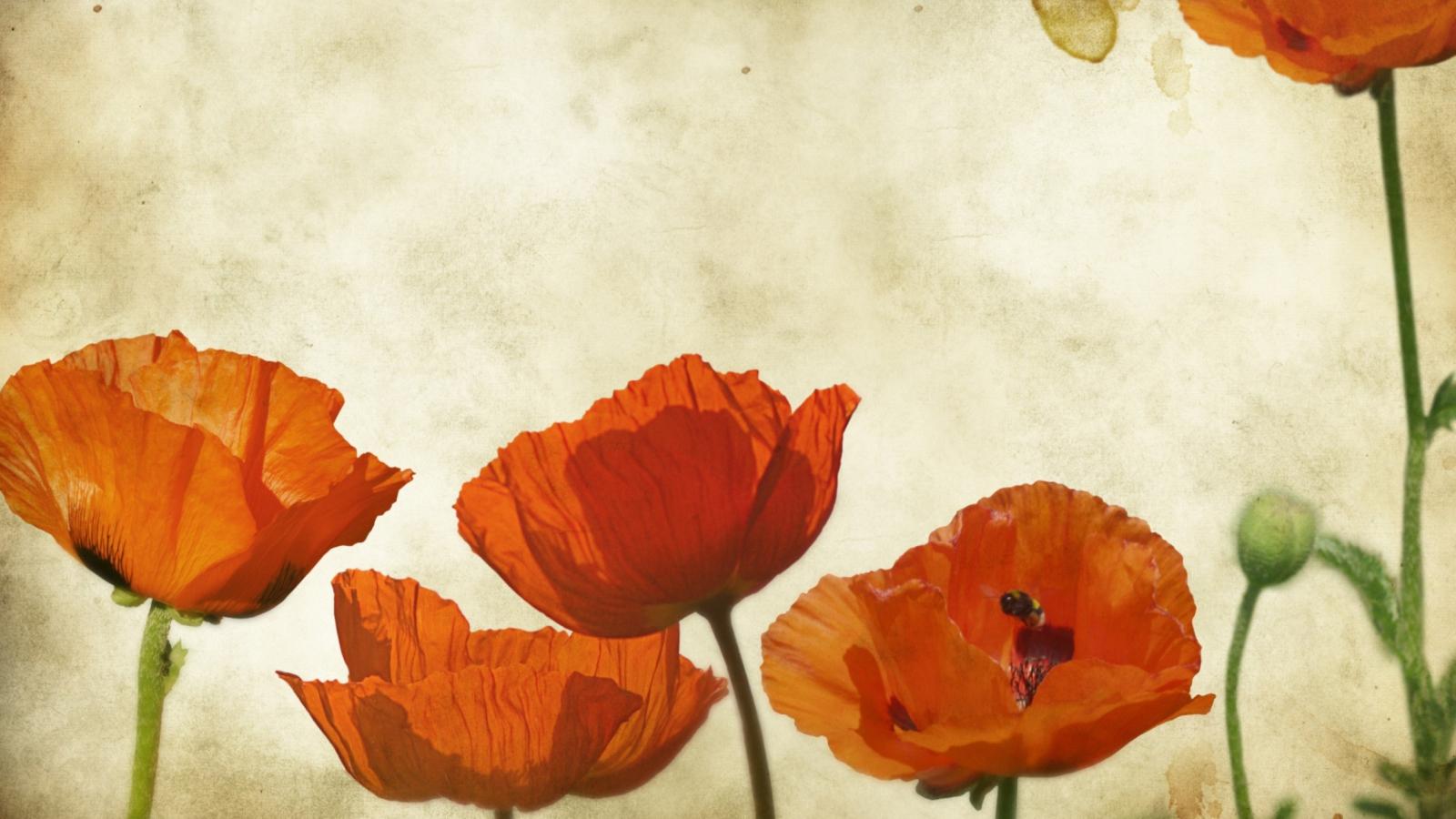 Poppies Vinatge