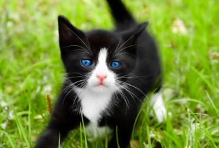 Blue Eyed Kitty In Grass