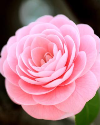 Pink Camellia para Huawei G7300