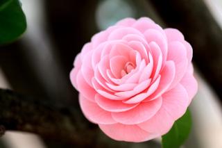 Pink Camellia para Motorola RAZR XT910