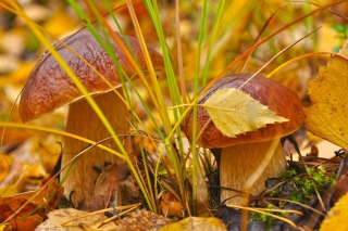 Autumn Mushrooms with Yellow Leaves