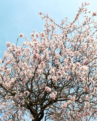 Spring Blossom para Huawei G7300
