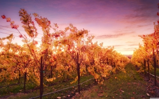 Sunset In Russian River Valley