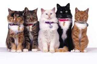 Cat Show para Samsung S5367 Galaxy Y TV
