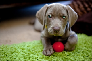 Cute Puppy With Red Ball