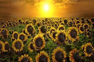 Sunrise Over Sunflowers
