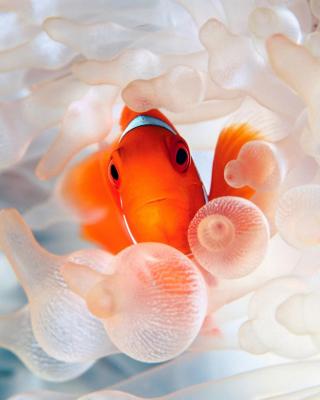 Orange Clownfish for Nokia Asha 303