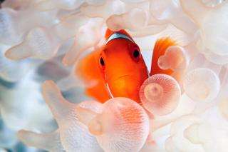 Orange Clownfish para Blackberry RIM Curve 9360